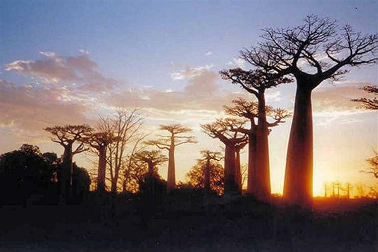 درختان غول آسای بائوباب در ناحیه مورونداوا در کشور ماداگاسکار.