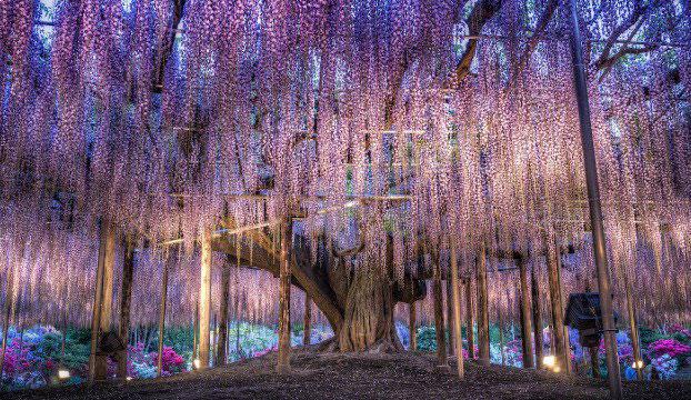 «باغ گل آشیکاگا» - ژاپن