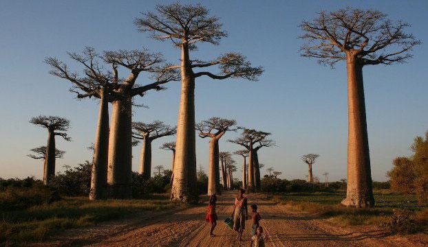 «درختان واژگون» - ماداگاسکار
