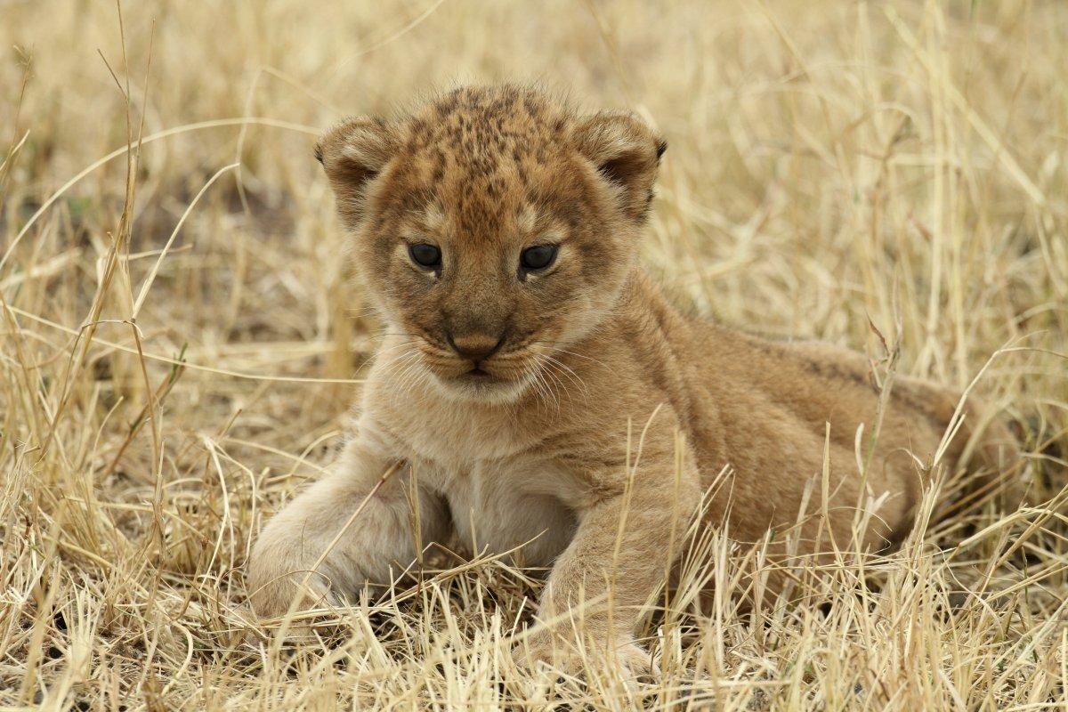 a-lion-cub-rests-at-tanzanias-serengeti-national-park