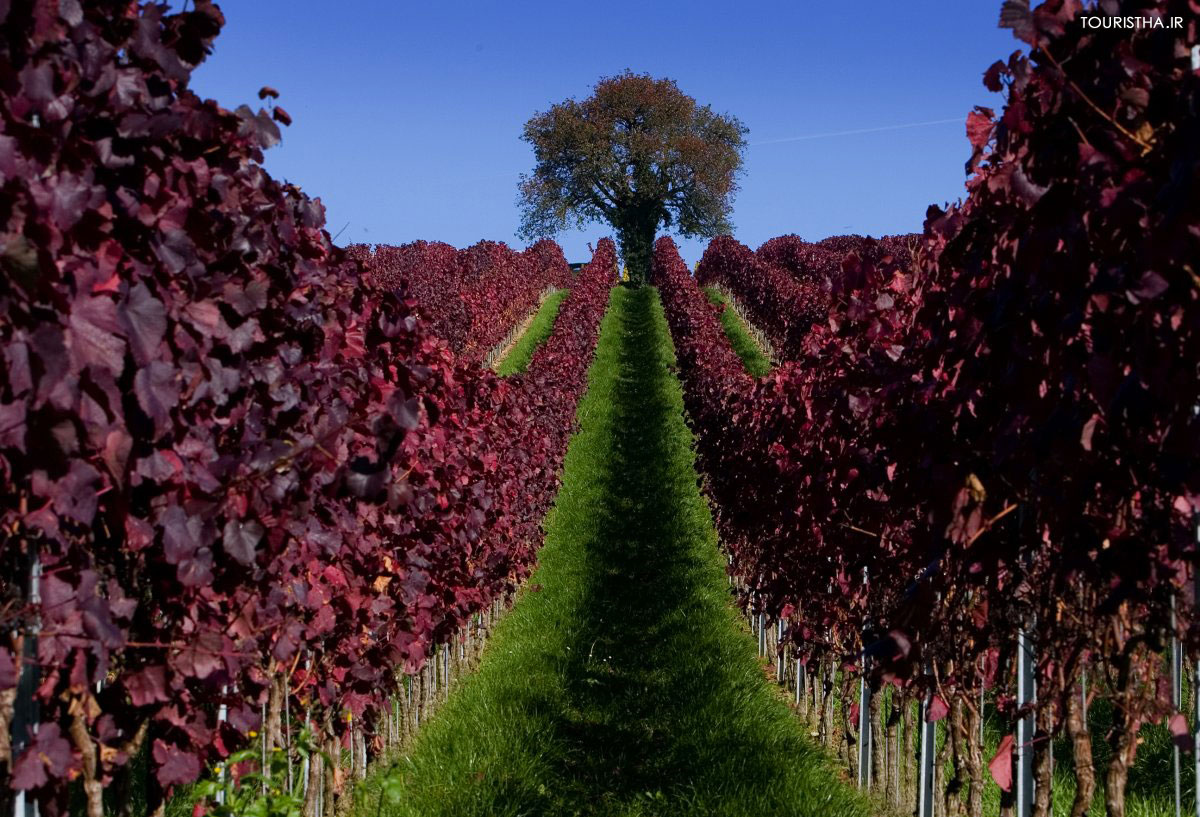 leaves-are-colored-red-in-a-vineyard-during-a-sunny-autumn-day-near-ueberlingen-in-germany
