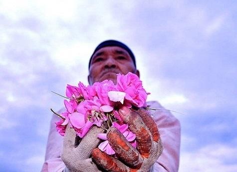 گل های محمدی